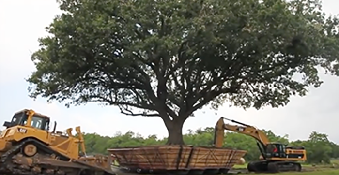 large tree moving to new location